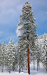 Okanogan National Forest, WA<br /> Towering ponderosa pine (Pinus ponderosa) with a branch shedding snow in a winter snow covered forest