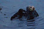 A female sea otter floats in water and has recently mated with a male made evidence by the raw flesh on her nose.