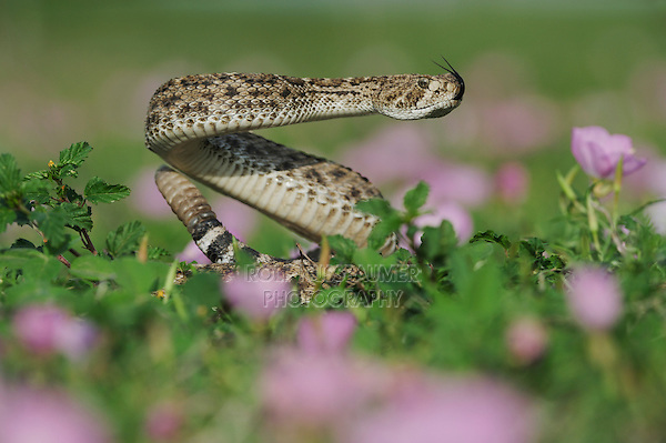Western Diamondback Rattlesnake (Crotalus atrox), adult in striking pose in field of Showy Primrose, Refugio, Coastel Bend, Texas, USA