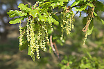 Common English oak Pedunculate Oak Quercus robur male flowers, Suffolk, England, UK