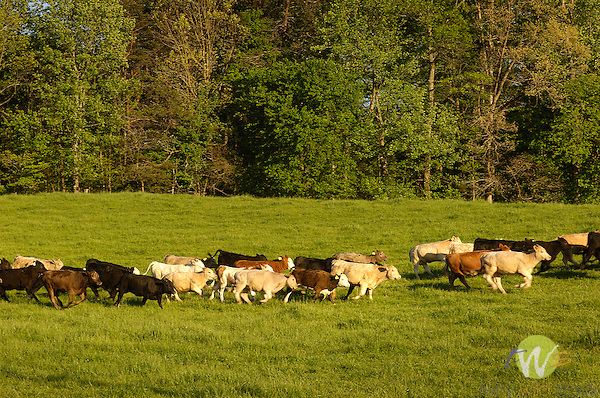 Herd of cattle running