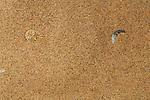 Peringueys Sidewinding Adder (Bitis peringueyi) largely hidden in a Namib Desert sand dune, Namibia.