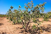 Fresh pistachio nuts growing on bushes.  Aegina, Greek Saronic Islands