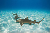 lemon sharks, Negaprion brevirostris, Grand Bahama, Bahamas, Atlantic Ocean