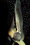 Foureye Butterflyfish; Chaetodon capistratus