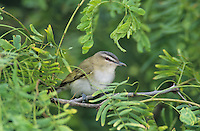 Red-eyed Vireo, Vireo olivaceus ,adult, South Padre Island, Texas, USA, May 2005