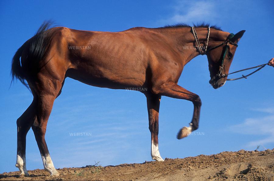 1997. Brown Akhal-Teke horse. Cheval Akhal-Teke couleur brune.