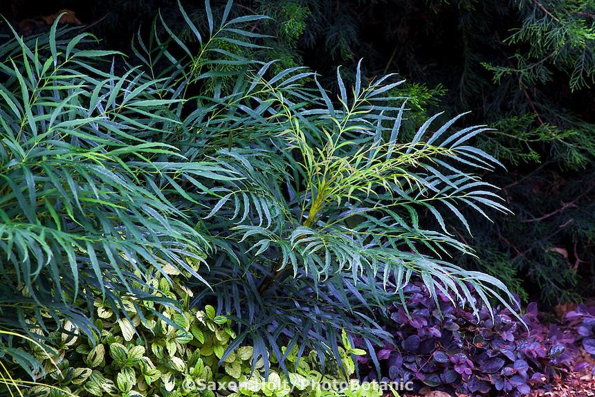 Mahonia 'Soft Caress' with Loropetalum 'Purple Diamond' and Ceanothus 'Diamond Heights' in garden border; Sunset Western Garden Collection