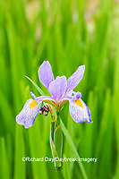63899-05506 Blue Flag Iris (Iris versicolor) in wetland Marion Co. IL