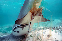 birth of lemon shark, Negaprion brevirostris: pup's tail emerges from mother's cloaca wrapped in birth sac; remoras, Naucrates ductor, break and eat umbilical cord, Bahamas, Caribbean Sea, Atlantic Ocean
