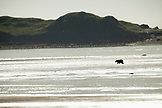 USA, Alaska, Homer, a grizzly bear looks for clams in the flats at low tide, Katmai National Park, Katmai Peninsula, Hallow Bay, Gulf of Alaska