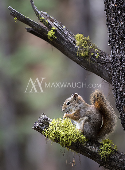 Red squirrels are a common sight in Yellowstone's woodlands.