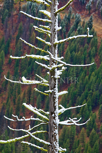 Snow covered a tree at higher elevation while the lower elevation trees received rain