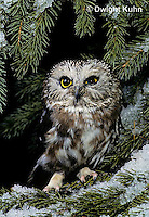 OW02-333z  Saw-whet owl - sitting on snow covered branch - Aegolius acadicus