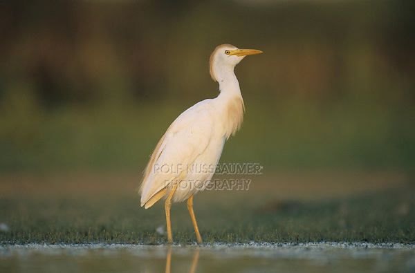 Cattle Egret, Bubulcus ibis , adult breeding plumage, Welder Wildlife Refuge, Sinton, Texas, USA