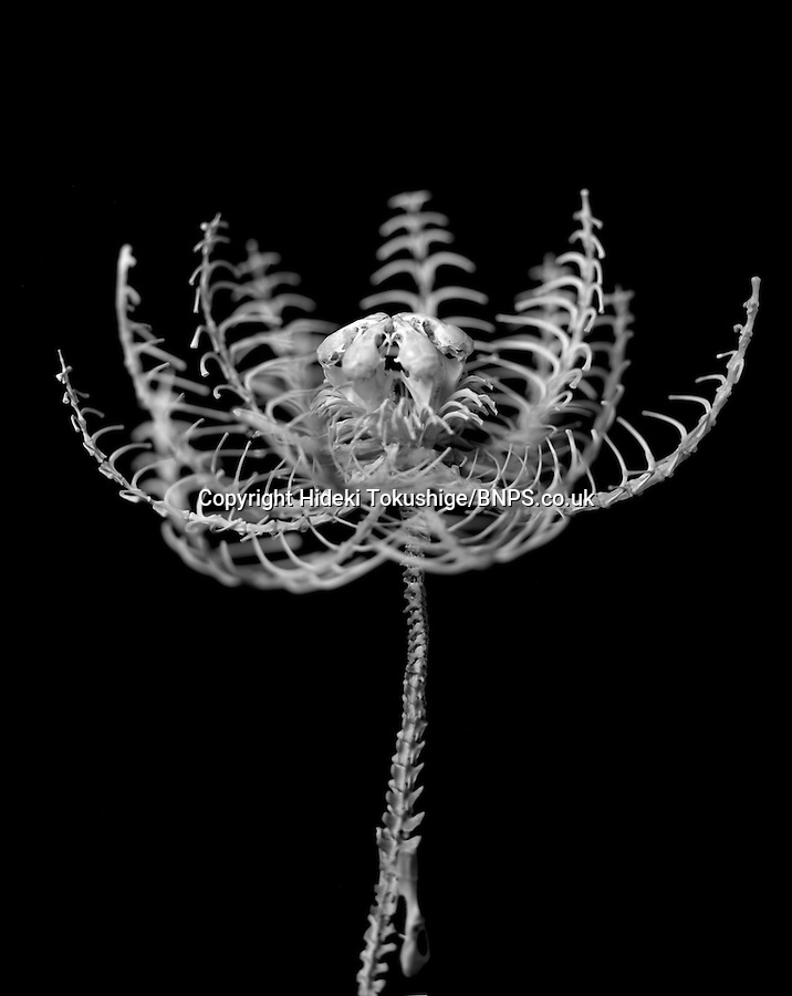 BNPS.co.uk (01202) 558833<br /> Picture: Hideki Tokushige<br /> <br /> **please use byline**<br /> <br /> These strange but beautiful sculptures of flowers have been carefully made from the skeletons of dead animals. Sculptor Hideki Tokushige purchases frozen rats and mice from pet shops that are normally used to feed reptiles. He then defrosts the small creatures and spends a month cutting away the flesh until he has collected hundreds of minuscule bones.<br /> <br /> Hideki has created dozens of flowers including a lotus, spider lily, dandelion, and hydrangea. He displays the delicate bone structures at exhibitions for a limited period of time before breaking them up and burying them in the ground.