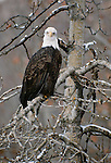 Bald eagle portrait, Chilkat River Valley, Alaska