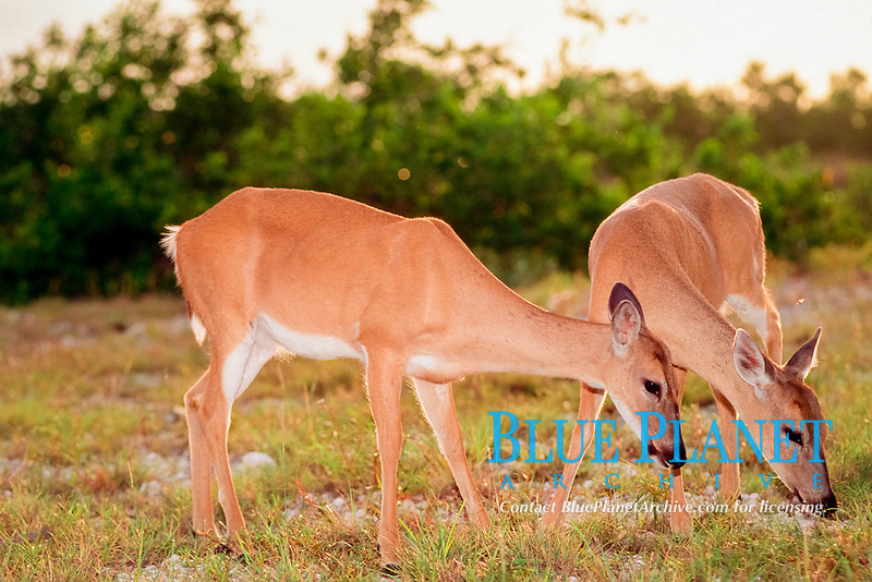 Key deer ( endangered ), Odocoileus virginianus clavium, Big Pine Key, Florida