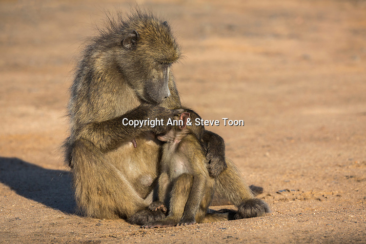 Chacma baboons (Papio ursinus) grooming, Kruger national park, South Africa, May 2017