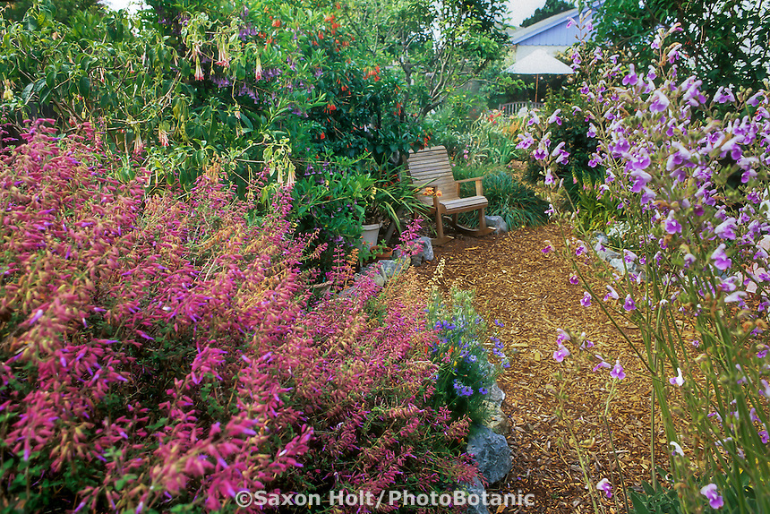 Sages in drought tolerant garden - Salvia semiatrata (red) and Salvia candelbrum (wht),