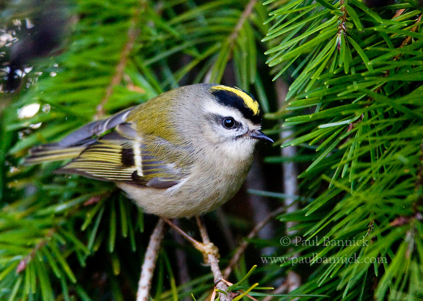 A Golden Crowned Kinglet, Regulus satrapa, searches for food on a Douglas Fir limb near Ladner, British Columbia.