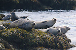 Harbor seals (Phoca vitulina) hang out on a ledge near Monhegan Island.