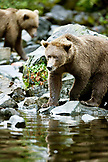 USA, Alaska, grizzly bear stalking fish, Wolverine Cove, Redoubt Bay