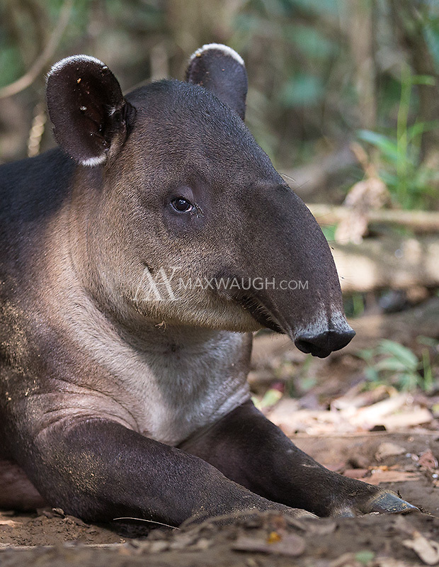 Central America's largest native land mammal is the Baird's tapir.  We see them quite often in Corcovado during my tours.