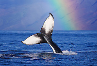 Humpback whale tail with rainbow, Maui, Hawaii.