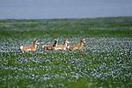 PRONGHORN<br /> American antelope; antilocapra Americana