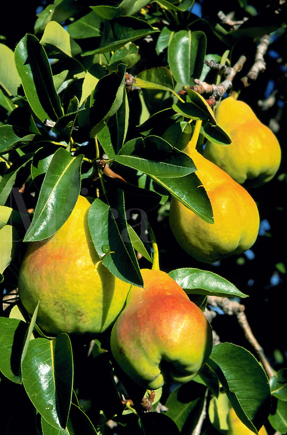 Close up of organically grown Bartlett pears ripening on a tree. Arizona.