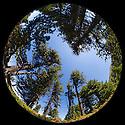 Circular fisheye view of a pine forest. Nordtirol, Austrian Alps. July.