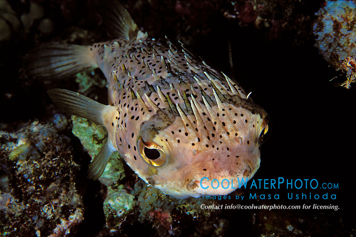 spiny porcupinefish, Diodon holocanthus, sleeping at night, Kona, Big Island, Hawaii, Pacific Ocean