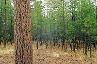 Ponderosa pine forest before tree thinning treatment at Fort Valley Forest Restoration Project, Plot #12, Coconino National Forest, Flagstaff, Arizona, AGpix_0278.