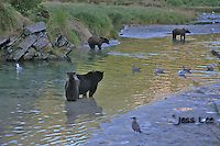a photo of a group of grizzlies salmon fishing in alaska's Katmai National Park. Grizzly Bear or brown bear alaska Alaska Brown bears also known as Costal Grizzlies or grizzly bears