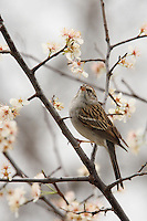The blossoms of the Flowering Dogwood Tree are the first sign of Spring in Central Texas. Common Sparrow.