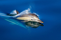Common dolphin (delphinus delphis) Gulf of California.A common dolphin., Baja California, Mexico, Pacific Ocean