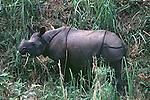 Black Rhino, Chitwan, Nepal