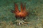 Sea Urchin Crab, (Dorippe frascone) carrying a fire urchin