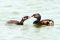 Adult and juvenile pied-billed grebes. Youngster begging for food.