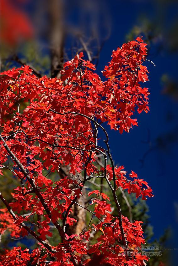 Maple Tree, West Fork of Oak Creek Canyon, Arizona