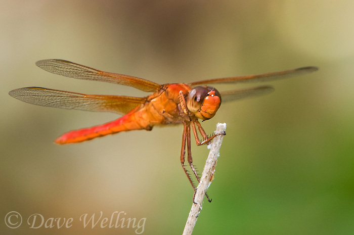 389140005 a wild adult male neon skimmer dragonfly libellula croceipennis perched on a small twig in breckenridge city park san antonio texas