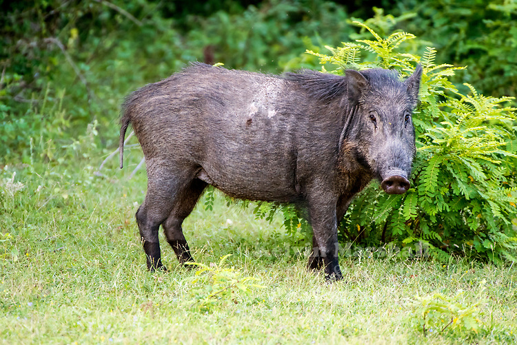 Feral pig (Sus scrofa) are environmental and agricultural pests. They cause damage to the environment through wallowing, rooting for food and selective feeding. They destroy crops and pasture, as well as habitat for native plants and animals. They spread environmental weeds and could spread exotic diseases should there be an outbreak. Research is continuing into techniques that will control feral pigs and minimise the damage they cause to native plants and animals. Wilpattu National Park - Sri Lanka.