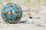 Least Tern (Sterna antillarum) adult nesting next to abandoned beach ball, Nickerson Beach, Long Island, New York, USA.