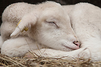 A lamb sleeps at Ferme Eboulmontaise farm in the Charlevoix city of Les Éboulements, Qc. Charlevoix lambs are the first food product in North America to be legally protected based on its region of origin.
