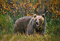 Grizzly Bear on damp morning at first light..Autumn. Rocky Mountains..(Ursus arctos).