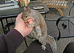 Female Squirrel eating out of hand
