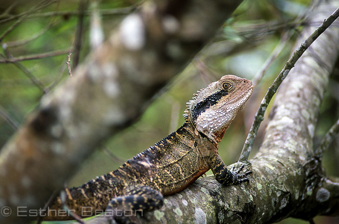 Eastern Water Dragon (Physignathus lesueurii lesueurii) on limb of Black Wattle overhanging Coote Creek, Wattamolla, Royal National Park, NSW