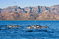 Long-beaked Common Dolphin pod (Delphinus capensis) encountered off Isla Danzante in the southern Gulf of California (Sea of Cortez), Baja California Sur, Mexico.