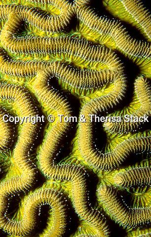 Brain Coral, Florida Keys National Marine Sanctuary
